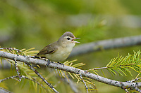 Adult WarblingVireo (Vireo gilvus) singing. Pend Oreille County, Washington. May.