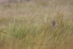 Leopard hunting, camouflaged in long grass (Panthera pardus), Maasai Mara National Reserve, Kenya.