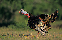 Wild Turkey, Meleagris gallopavo,male calling, Lake Corpus Christi, Texas, USA
