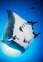 giant oceanic manta ray, Manta birostris, with remora, suckerfish, Remora sp., Socorro Island, Revillagigedo Islands, Mexico, Pacific Ocean