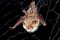 Fransen-Fledermaus in Fledermausnetz, Japannetz, Netz, Forschung, Fledermausschutz, Fledermaus-Schutz, Fransenfledermaus, Myotis nattereri, Natterer's bat, Le murin de Natterer, vespertilion de Natterer