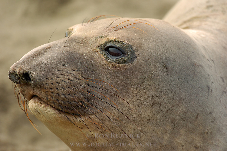 Elephant Seal Female, Close Portrait, Northern Elephant Seal, Piedras Blancas Rookery, San Simeon, California