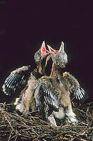 Eichelhäher, Küken, Jungvogel bettelnd, sperrend, im Nest, Eichel-Häher, Häher, Garrulus glandarius, jay