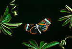 Greta Oto, Clearwing, Glasswing Butterfly, in flight, flying, Ecuador, Jungle, high speed photographic technique.South America....