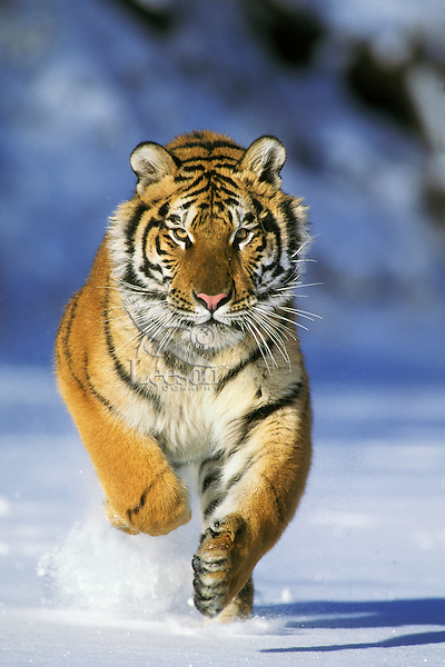 Siberian Tiger or Amur Tiger (Panthera tigris) running, Endangered Species.  Winter.