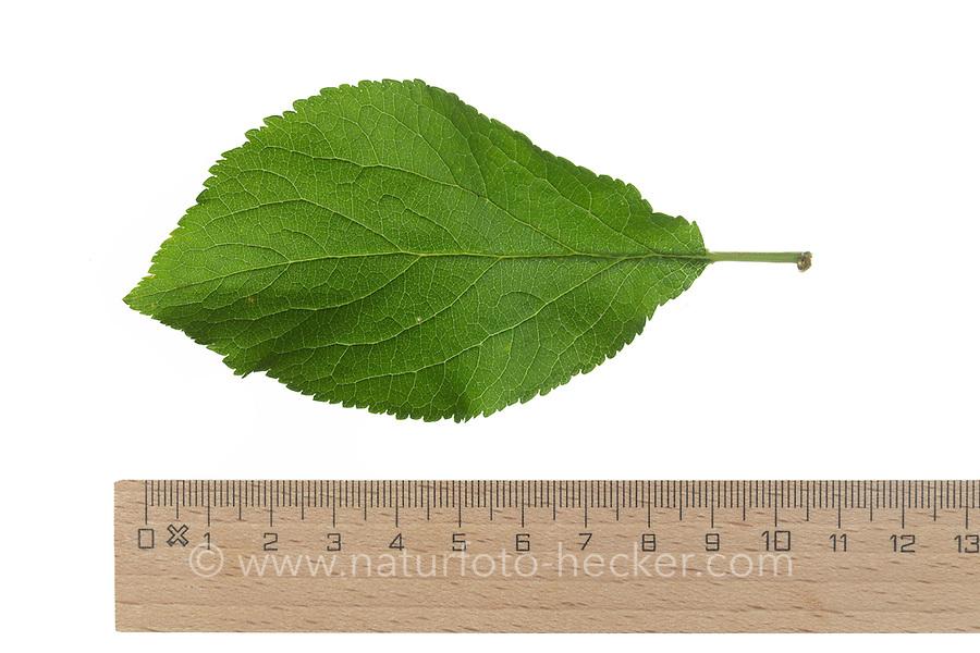 Pflaume, Zwetsche, Zwetschge, Kultur-Pflaume, Prunus domestica domestica, Plum, Le prunier, prunier cultivé. Blatt, Blätter, leaf, leaves