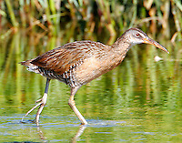 Clapper rail walking in water at edge of reeds