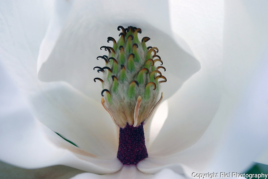 The carpels and stamens within the petals of a magnificent white magnolia flower, Portugal