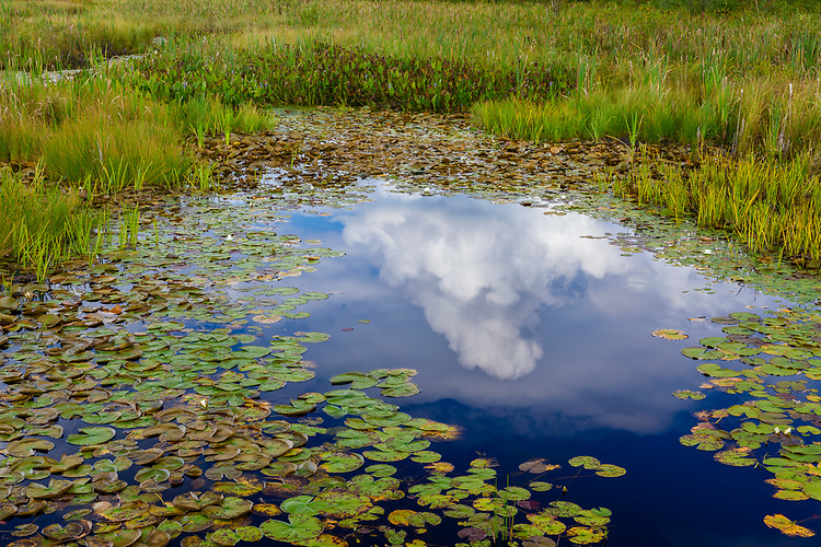 Cloud reflection in a pond filled with lily pads and grasses along the shore of West Squaw Lake in the Northwoods; Vilas County, WI