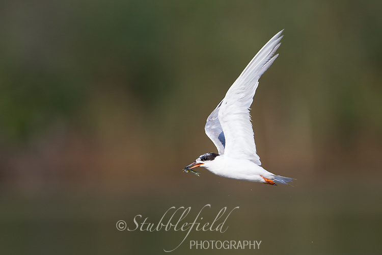 Forster's Tern (Sterna forsteri), adult molting into winter plumage with a freshly caught fish on the East Pond at Jamaica Bay Wildlife Refuge in New York City, New York.