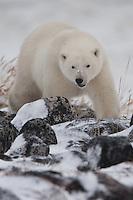 Polar Bear walking over the rocks along the shore of Hudson Bay