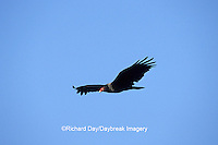 00780-00609 Turkey Vulture (Cathartes aura) in flight Marion Co.   IL