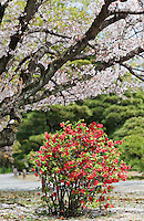 A Chaenomeles speciosa 'Nakai' (Japanese Quince) stands beneath a flowering cherry blossom tree