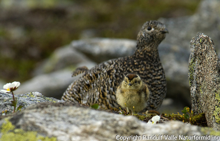 Fjellrype med kylling ---- Rock ptarmigan with chick