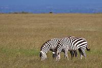 Zebras grazing in Olpejeta conservancy, Kenya