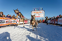 A Travis Beals dog jumps in anticipation of leaving the start during the Iditarod Sled Dog Race 2014 restart in Willow, Alaska.<br /> <br /> <br /> PHOTO (c) BY JEFF SCHULTZ/IditarodPhotos.com -- REPRODUCTION PROHIBITED WITHOUT PERMISSION