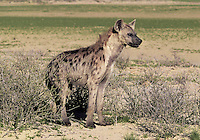 Spotted Hyena Crocuta crocuta Length 90-140cm Powerful predator and scavenger. Lives in family groups and an active predator as well as scavenger. Coat is buffish-brown with variable degrees of darker spotting. Widespread but local in sub-Saharan Africa, restricted to savannah grassland habitats.