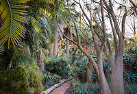 Brick path through garden of tropical plants with Aloe barberae, Tree Aloe and Wine palm trees, Lotusland