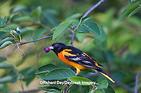 01611-08506 Baltimore Oriole (Icterus galbula) male in Serviceberry Bush (Amelanchier canadensis) eating berry  Marion Co., IL