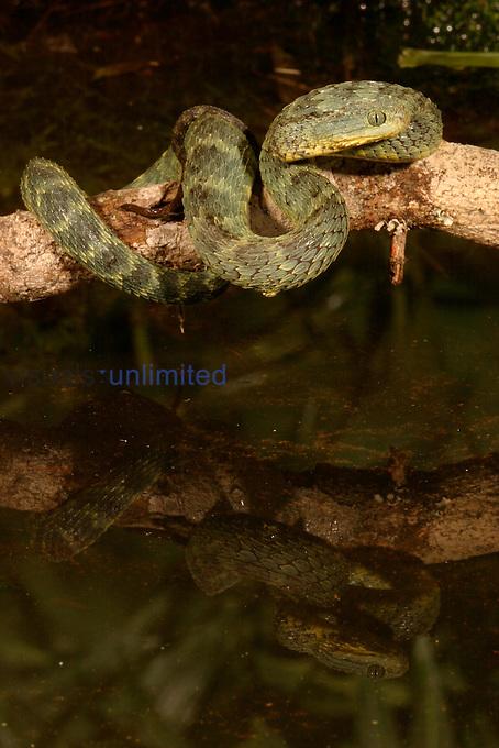 Bush Viper ,Atheris squamiger,