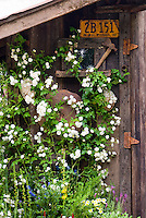 Climbing white roses Rosa supported on rustic garden shed with old California license plate ornament and old garden tools