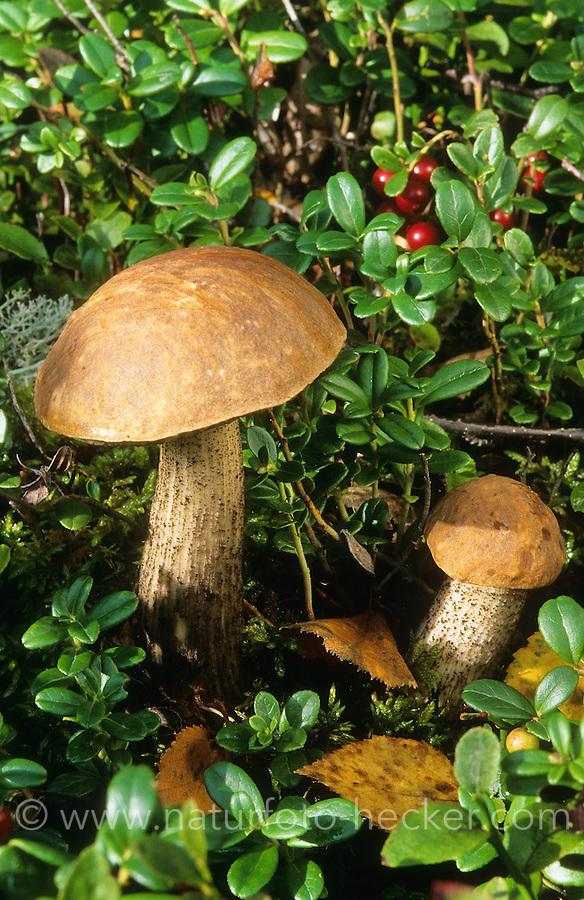 Birkenpilz, Birkenröhrling, Kapuziner, Leccinum scabrum, Boletus scaber, Birch bolete