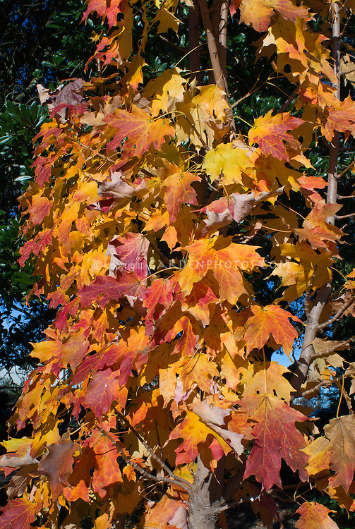 Acer saccharum 'Fall Fiesta' aka Bailsta Sugar Maple tree in autumn color