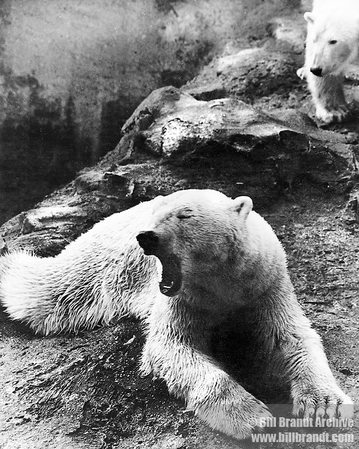 Polar bear London Zoo