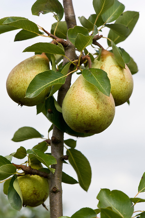 Pear 'Beth', mid August. An early dessert pear. Slightly small but with an outstanding, rich, sweet flavour. A cross between 'Beurré Superfin' and 'Williams' Bon Chrétien', bred at East Malling, Kent in 1938.