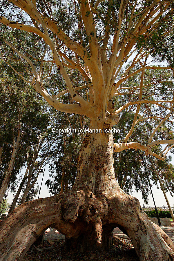 Israel, Sharon region. Eucalyptus tree in Or Akiva