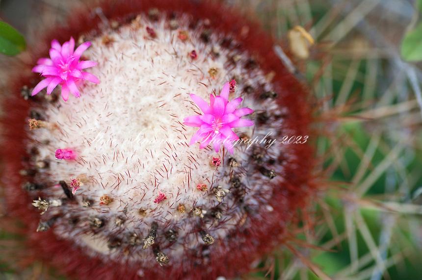 Turks Head Cactus along the Tektite Trail<br /> St John<br /> US Virgin Islands