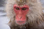 Jigokudani National Monkey Park, Nagano, Japan<br /> Japanese Snow Monkey (Macaca fuscata) in a hot spring pool at Jigokudani monkey park in the Yokoyu River valley