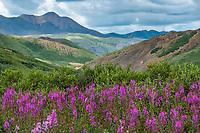Chamerion angustifolium (syn. Epilobium angustifolium or Chamaenerion angustifolium), Fireweed, Wildflowers in subalpine heath tundra at Stony Dome, Denali National Park, Alaska. Pacific Horticulture tour Botanical Alaska 2019