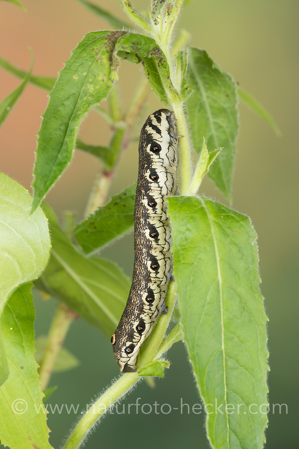 Nachtkerzenschwärmer, Nachtkerzen-Schwärmer, Raupe, Proserpinus proserpina, Willowherb Hawkmoth, caterpillar, Le Sphinx de l'épilobe, Sphinx de l'œnothère, Schwärmer, Sphingidae, hawkmoths, hawk moths, sphinx moths