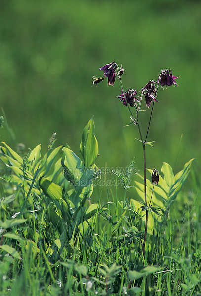 European Columbine, Aquilegia vulgaris, blooming with bumblebee, Oberaegeri, Switzerland, May 1995