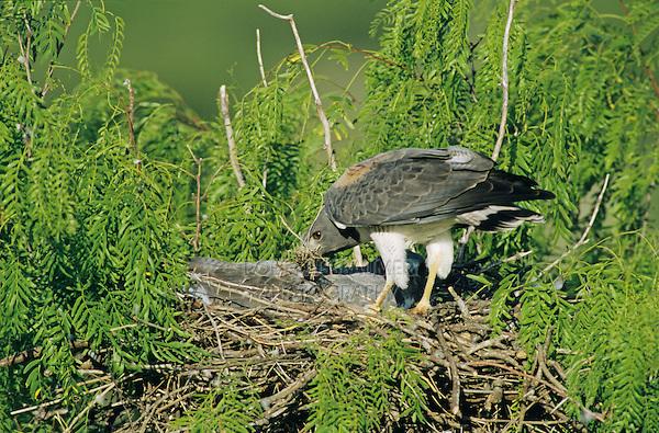 White-tailed Hawk, Buteo albicaudatus,adult bringing nestmaterial to nest in Mesquite tree, Welder Wildlife Refuge, Sinton, Texas, USA, April 2005