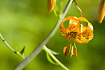 Tiger Lily (Lilium Columbianum), Coast mountain range, Oregon