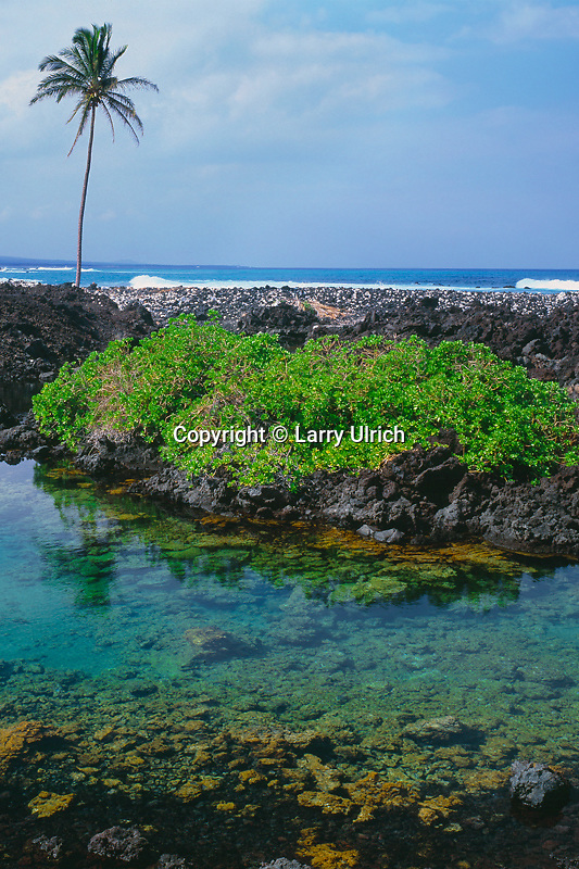 Brackish pond and coconut palm<br /> South of  Anaehoomalu Bay<br /> South Kohala<br /> Island of Hawaii,  Hawaii