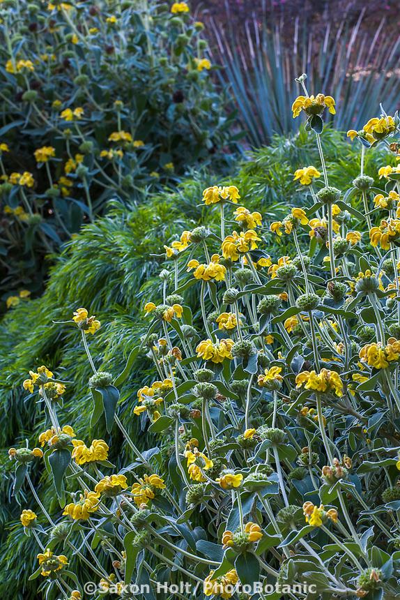 Phlomis fruticosa (Jerusalem Sage) gray foliage perennial flowering at Leaning Pine Arboretum, California garden