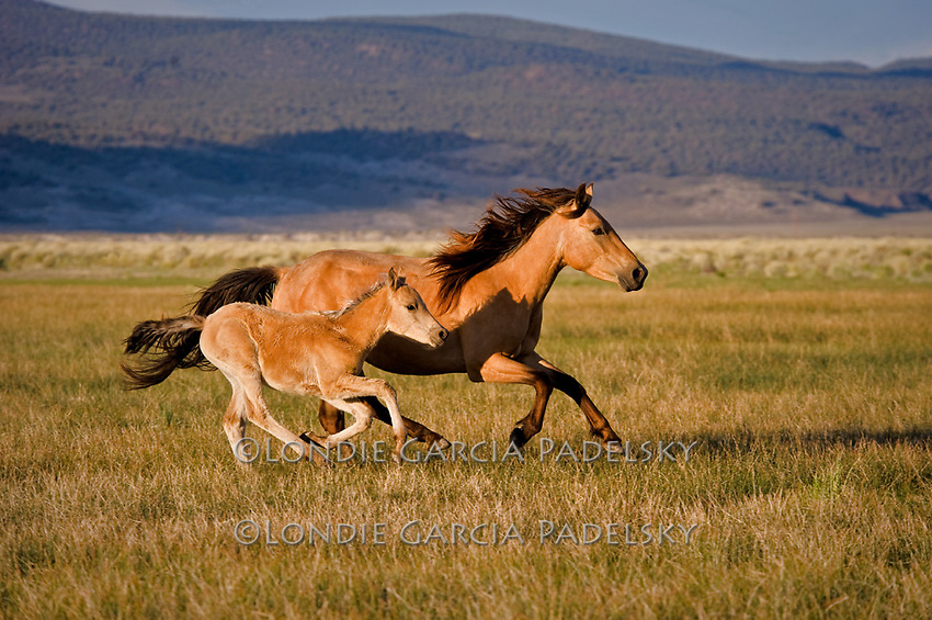 Mustangs running freely in the Sierra Nevada, California