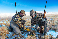 Waterfowl hunters retrieve a drake mallard.
