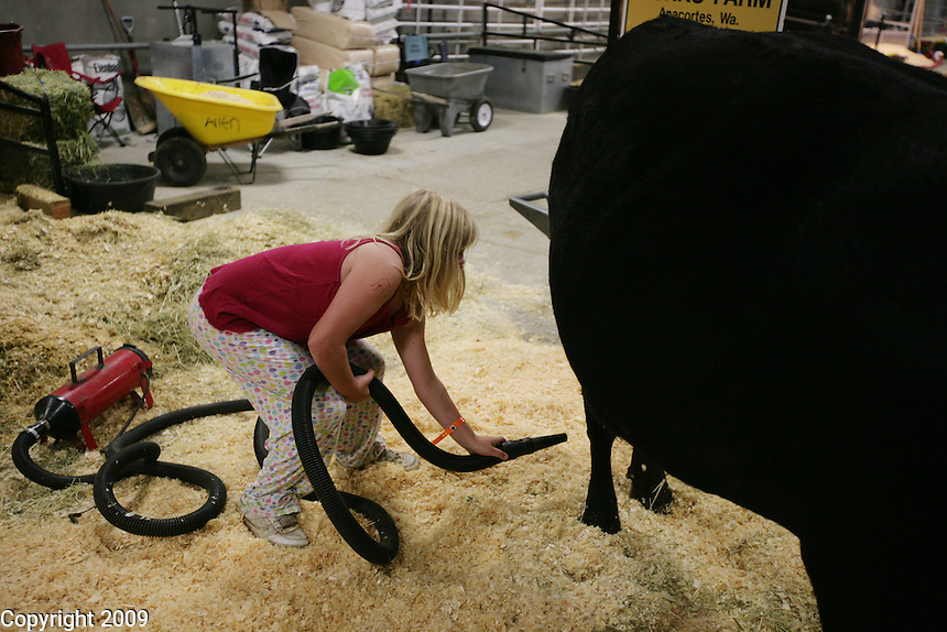 Amanda Toth, 11, of Anacortes, blow dries a beef cow in her pj's at 6am at the NW Washington Fair. August 18, 2009 PHOTOS BY MERYL SCHENKER