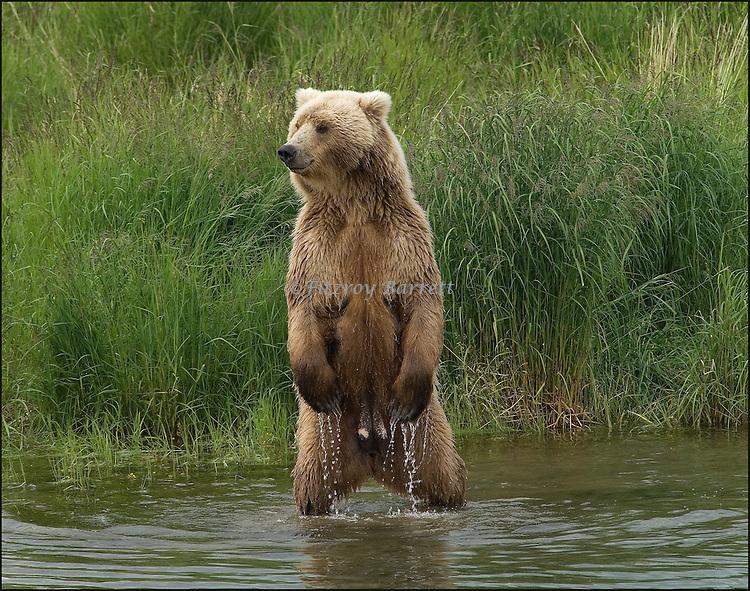 GRIZZLY BEAR.(URSUS ARCTOS).BROOKS RIVER KATMAI NATIONAL PARK AND RESERVE.ALASKA.07-03-2005.© PHOTO BY FITZROY BARRETT