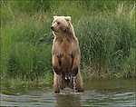 GRIZZLY BEAR.(URSUS ARCTOS).BROOKS RIVER KATMAI NATIONAL PARK AND RESERVE.ALASKA.07-03-2005.© PHOTO BY FITZROY BARRETT