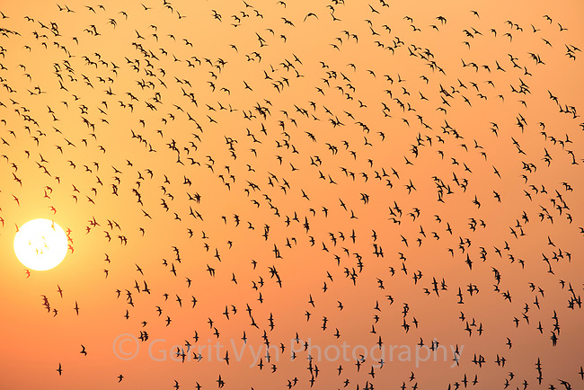 A flock of long distance migrant Great Knots (Calidris tenuirostris) fly in front of an afternoon sun turned orange by air pollution. Great Knot populations have been steadily decling due to ahbitat loss in the Yellow Sea. Yalu jiang, China. April.