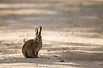 Iberian Hare (Lepus granatensis), Sierra de Andujar Natural Park, Sierra de Andujar, Sierra Morena, Andalusia, Spain