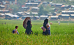 Women and a girl carry a tarp, blankets and other items that they received from a church-sponsored aid group across a rice field in the Jamtoli Refugee Camp near Cox's Bazar, Bangladesh. More than 600,000 Rohingya have fled government-sanctioned violence in Myanmar for safety in Bangladesh.