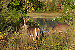 White-tailed deer (Odocoileus virginianus)