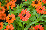 A profusion of red zinnias add a vibrant burst of color in the fall  garden.