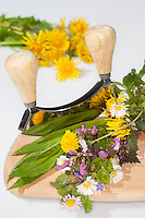 Essbare Wildkräuter, Kräuter werden mit Wiegemesser, Messer auf einem Brettchen zerkleinert, Ernte, Gänseblümchen (Bellis perennis), Löwenzahn (Taraxacum officinale), Taubnessel (Lamium spec.), Spitz-Wegerich (Plantago lanceolata), Gundermann (Glechoma hederacea), Edible wild herbs, herbs are crushed with mezzaluna, knife on a small board, harvest, English Daisy, Plantain, Ribwort, Alehoof, Ground Ivy, Blowballs, Dandelion, Dead Nettles